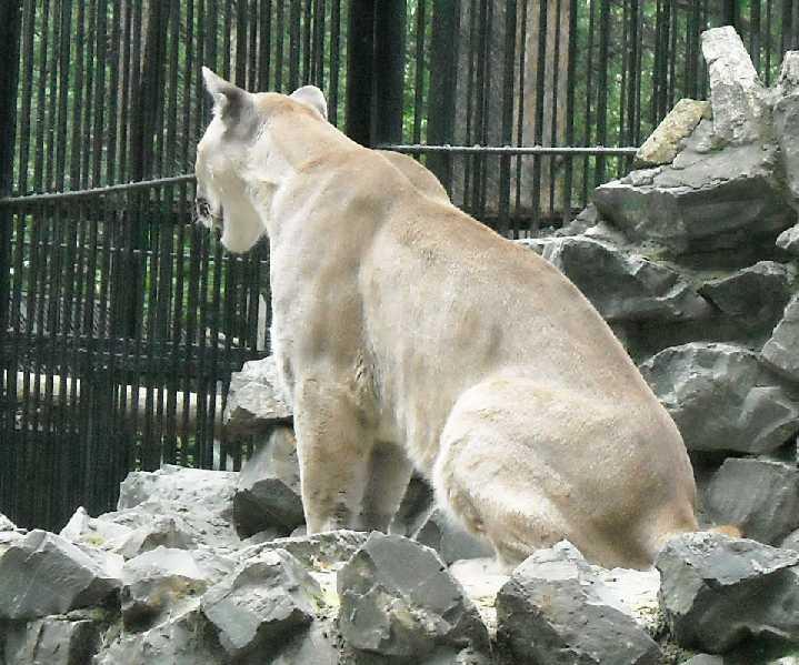 Пума - Felis concolor  (фото 1424)