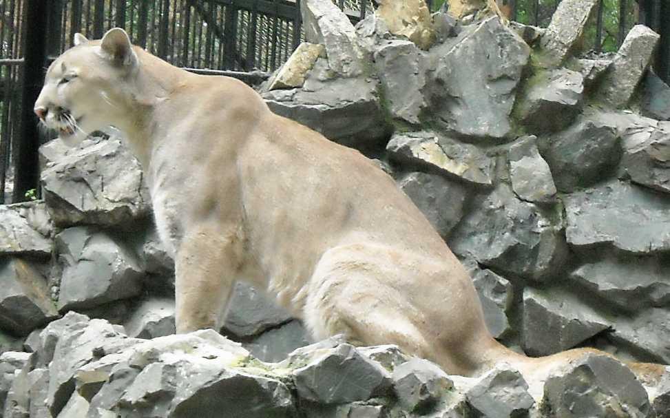 Пума - Felis concolor  (фото 1425)