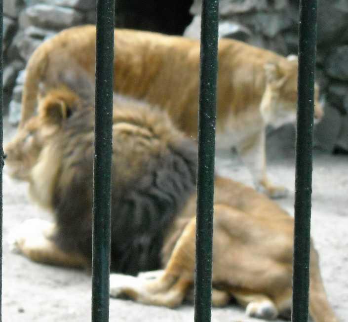 Африканский лев - Panthera leo  (фото 1434)