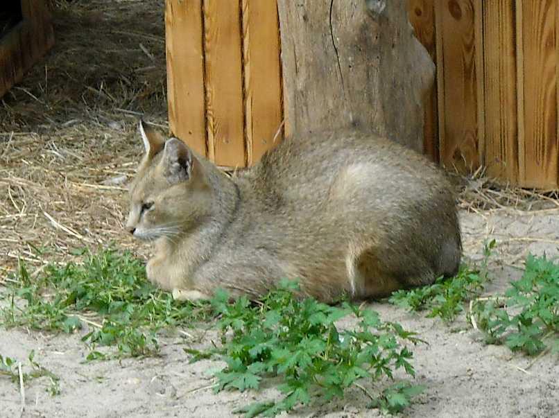 Камышовый кот - Felis chaus  (фото 1437)