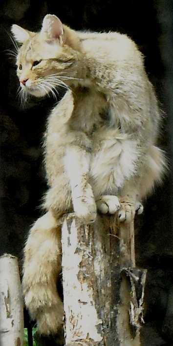 Дальневосточный лесной кот - Felis euptilura  (фото 1439)
