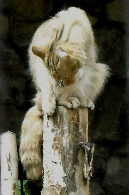 Дальневосточный лесной кот - Felis euptilura  (фото 1440)