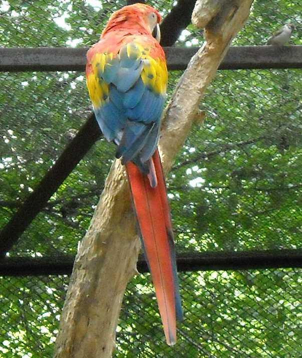 Сине-желтый ара - Ara ararauna  (фото 1488)