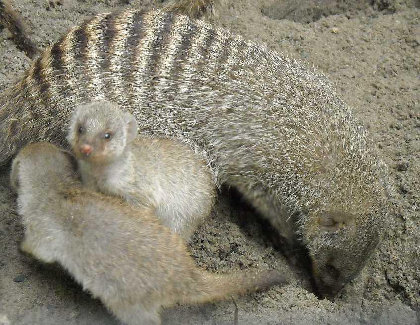 Полосатый мангуст - Mungos mungo  (фото 1513)