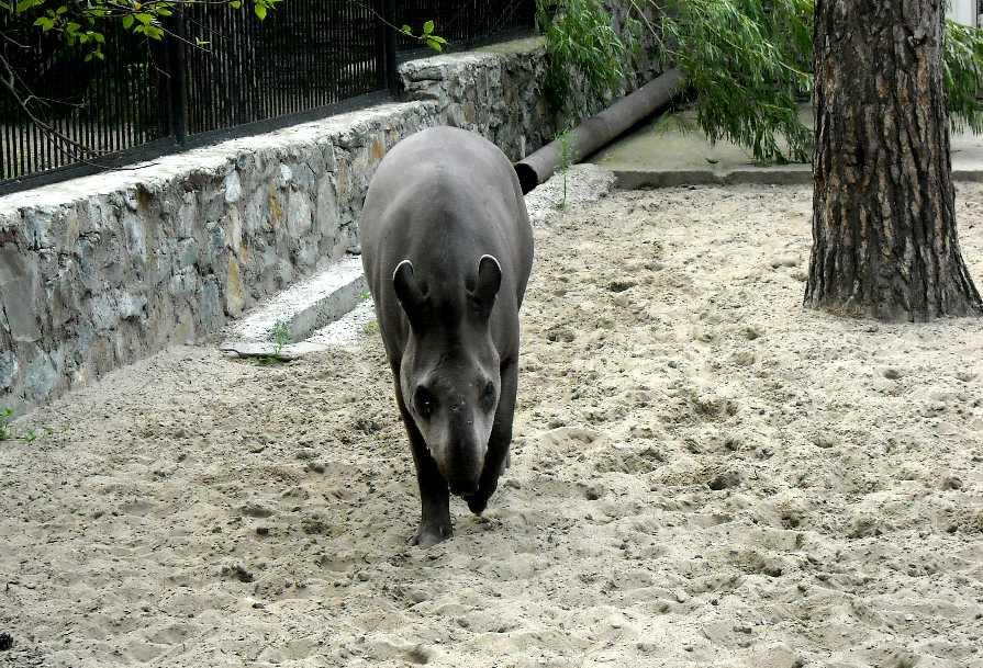 Равнинный тапир - Tapirus terrestris  (фото 1530)
