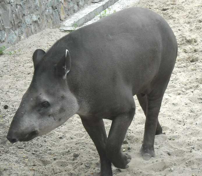 Равнинный тапир - Tapirus terrestris  (фото 1531)