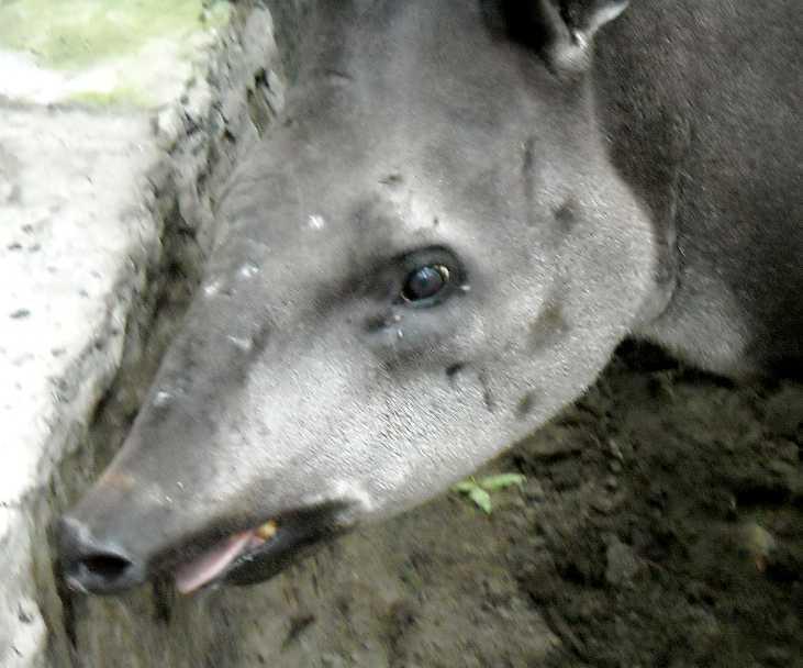 Равнинный тапир - Tapirus terrestris  (фото 1533)