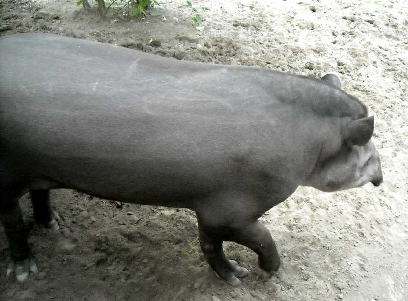 Равнинный тапир - Tapirus terrestris  (фото 1535)