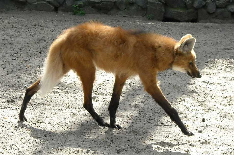 Гривистый волк - Chrysocyon brachyurus  (фото 1573)