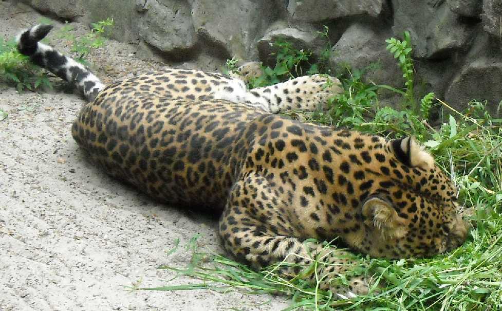 Персидский леопард - Panthera pardus saxicolor  (фото 1606)