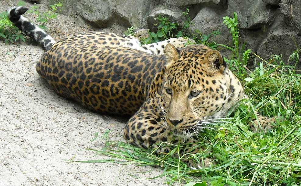 Персидский леопард - Panthera pardus saxicolor  (фото 1607)