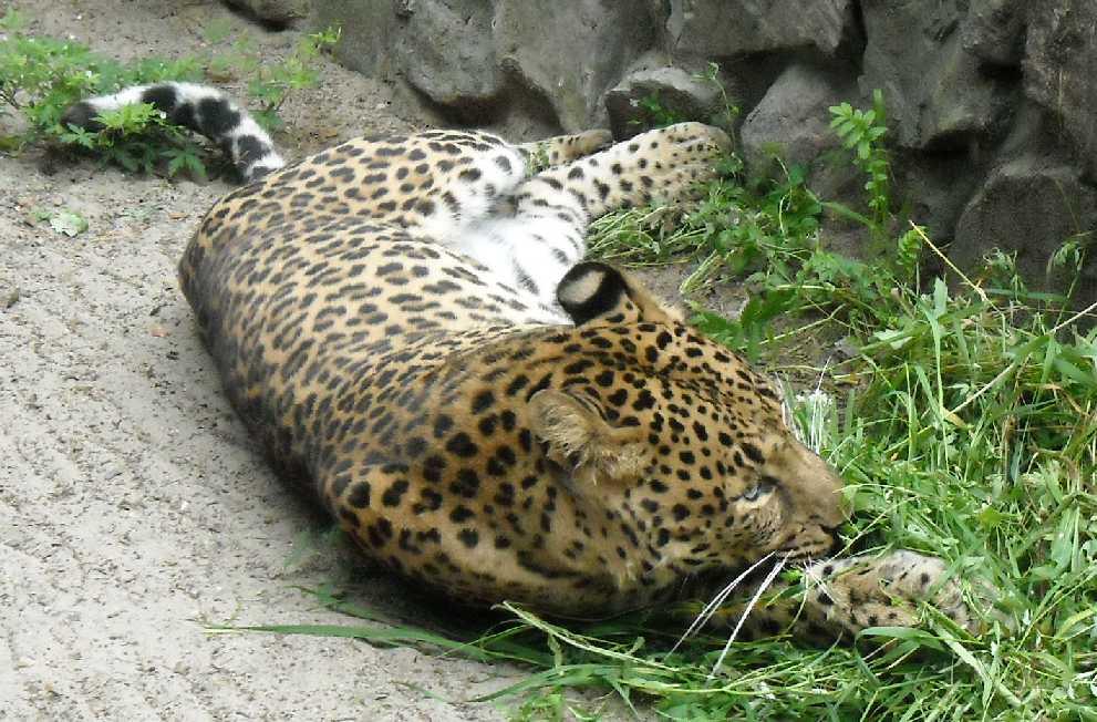 Персидский леопард - Panthera pardus saxicolor  (фото 1608)