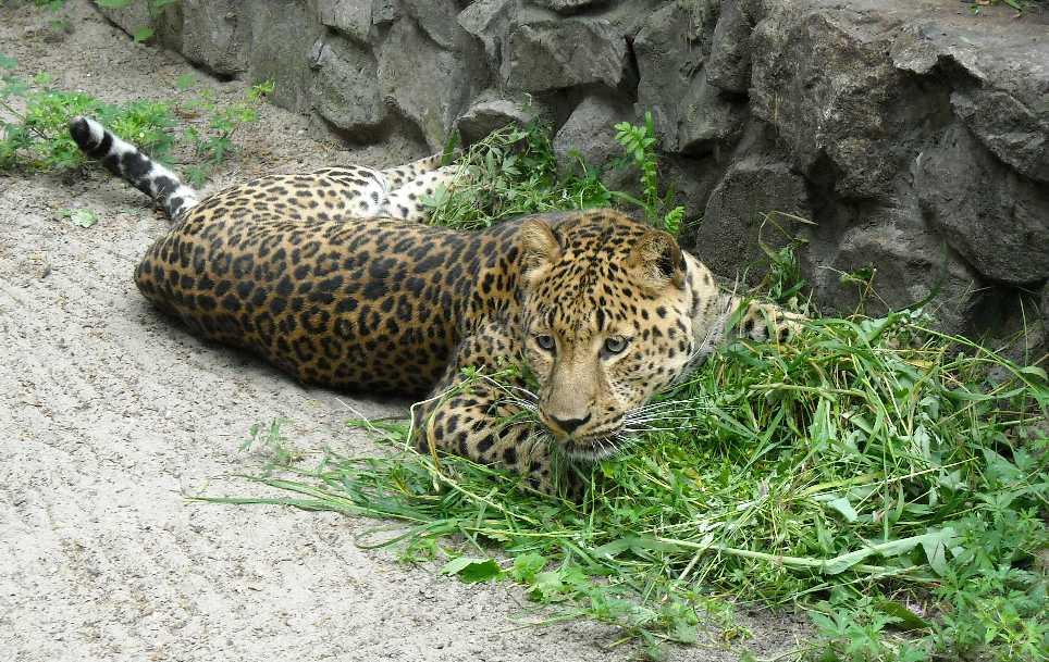 Персидский леопард - Panthera pardus saxicolor  (фото 1610)