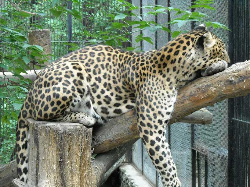 Кавказский леопард - Panthera pardus ciscaucasica  (фото 1611)