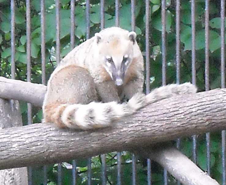 Носуха (коати) - Nasua nasua  (фото 1627)