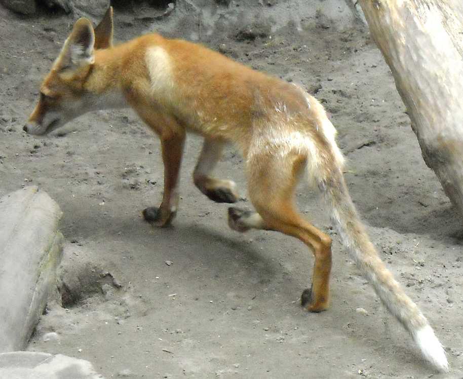 Австралийский динго - Canis familiaris dingo  (фото 1633)