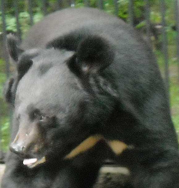 Уссурийский белогрудый медведь - Ursus thibetanus ussuricus  (фото 1708)