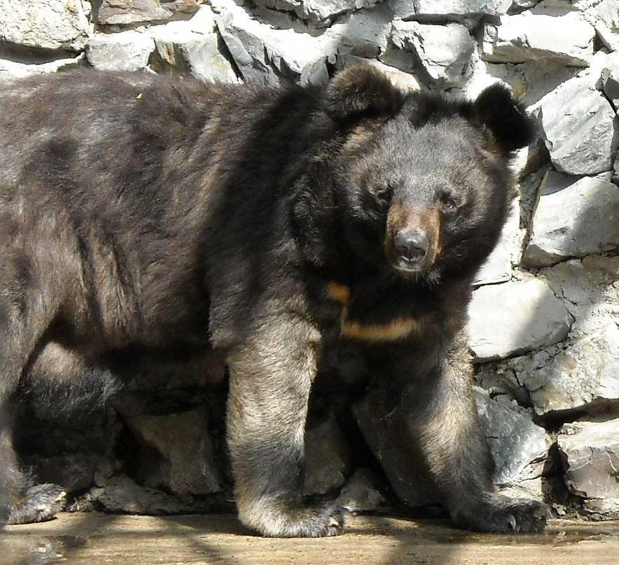 Уссурийский белогрудый медведь - Ursus thibetanus ussuricus  (фото 1709)