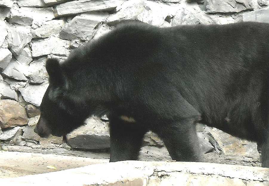 Уссурийский белогрудый медведь - Ursus thibetanus ussuricus  (фото 1710)