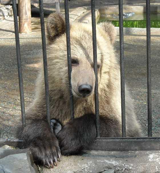 Бурый медведь - Ursus arctos  (фото 1714)