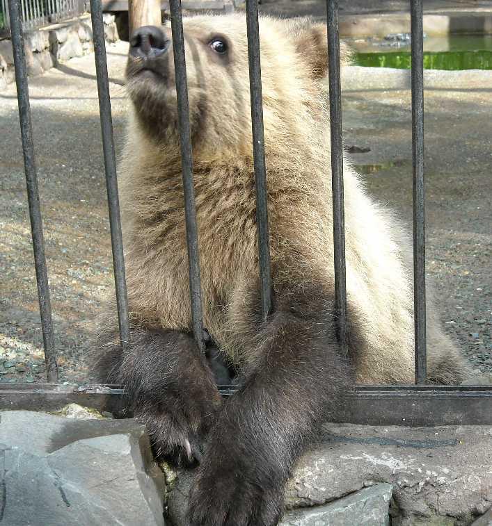 Бурый медведь - Ursus arctos  (фото 1715)