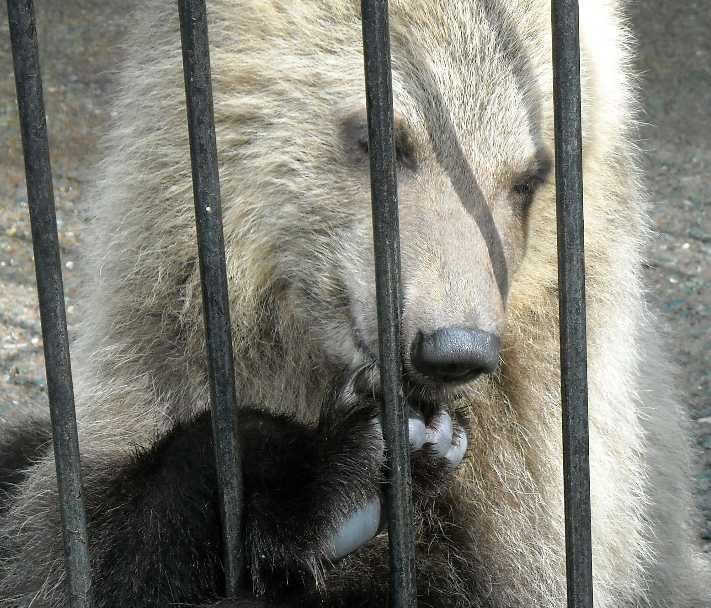 Бурый медведь - Ursus arctos  (фото 1716)