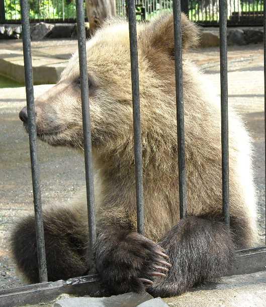 Бурый медведь - Ursus arctos  (фото 1717)
