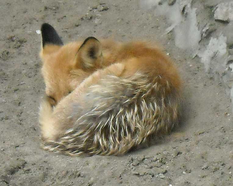 Обыкновенная лисица - Vulpes vulpes vulpes  (фото 1756)