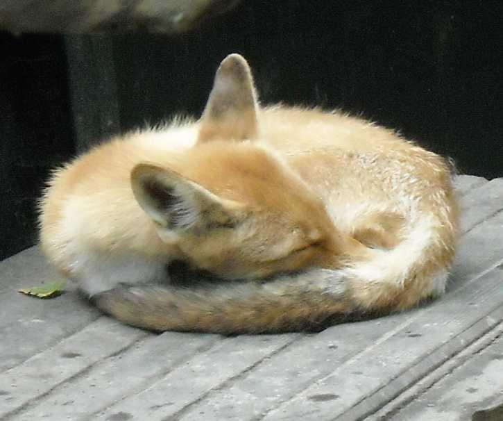 Обыкновенная лисица - Vulpes vulpes vulpes  (фото 1757)