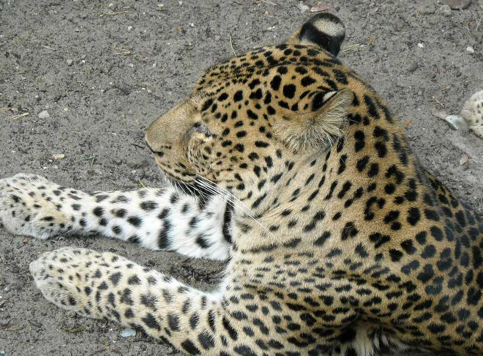 Кавказский леопард - Panthera pardus ciscaucasica  (фото 1810)