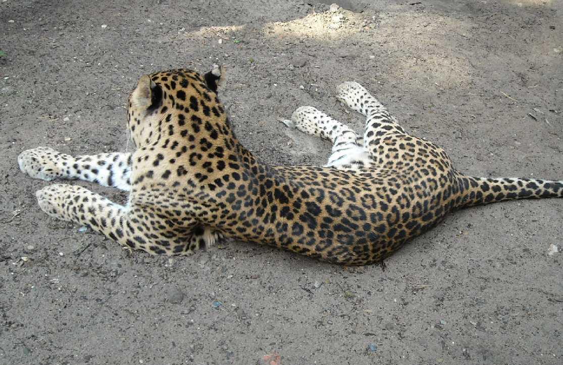Кавказский леопард - Panthera pardus ciscaucasica  (фото 1812)