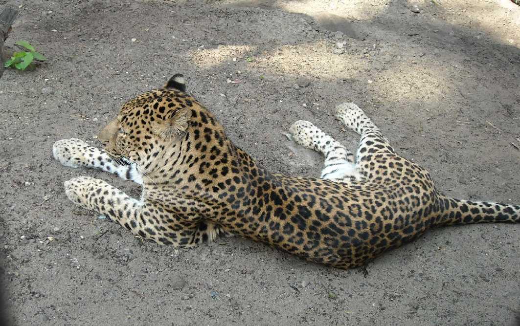 Кавказский леопард - Panthera pardus ciscaucasica  (фото 1813)