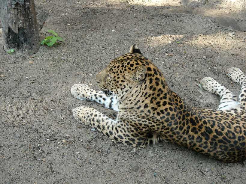 Кавказский леопард - Panthera pardus ciscaucasica  (фото 1814)