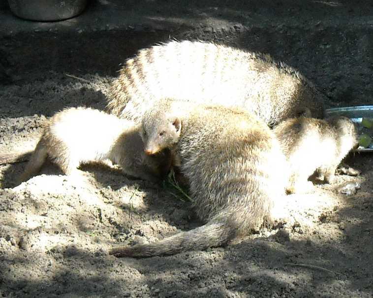 Полосатый мангуст - Mungos mungo  (фото 1856)