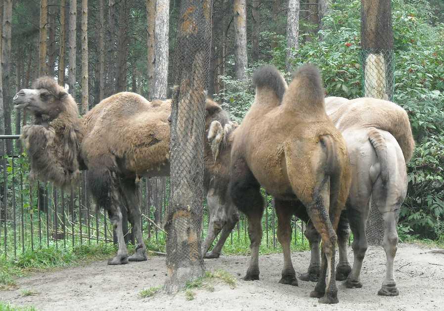 Двугорбый верблюд - Camelus ferus dom.  (фото 1912)