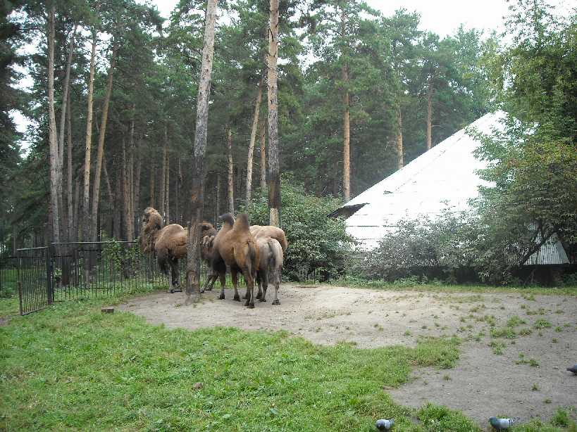 Двугорбый верблюд - Camelus ferus dom.  (фото 1913)