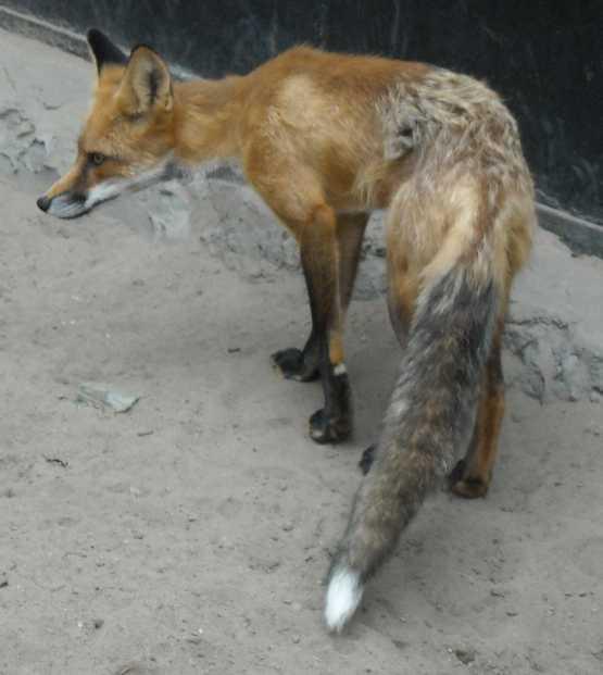 Обыкновенная лисица - Vulpes vulpes vulpes  (фото 1919)
