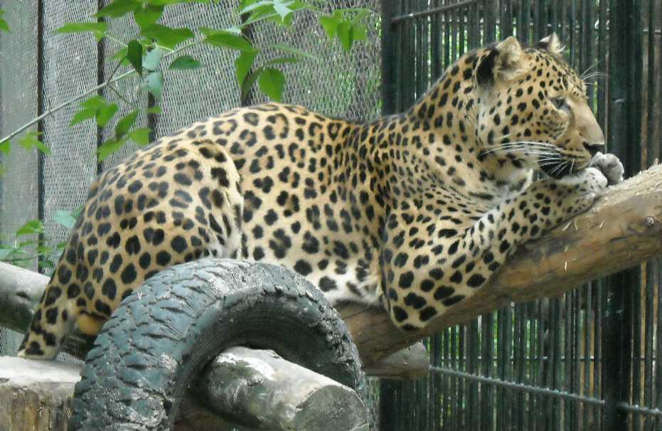 Кавказский леопард - Panthera pardus ciscaucasica  (фото 1929)