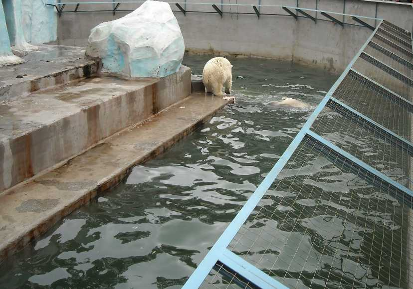 Белый медведь - Ursus maritimus  (фото 1958)