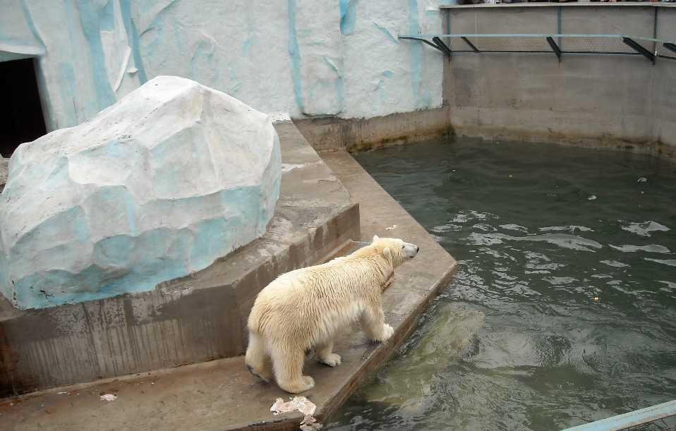 Белый медведь - Ursus maritimus  (фото 1959)