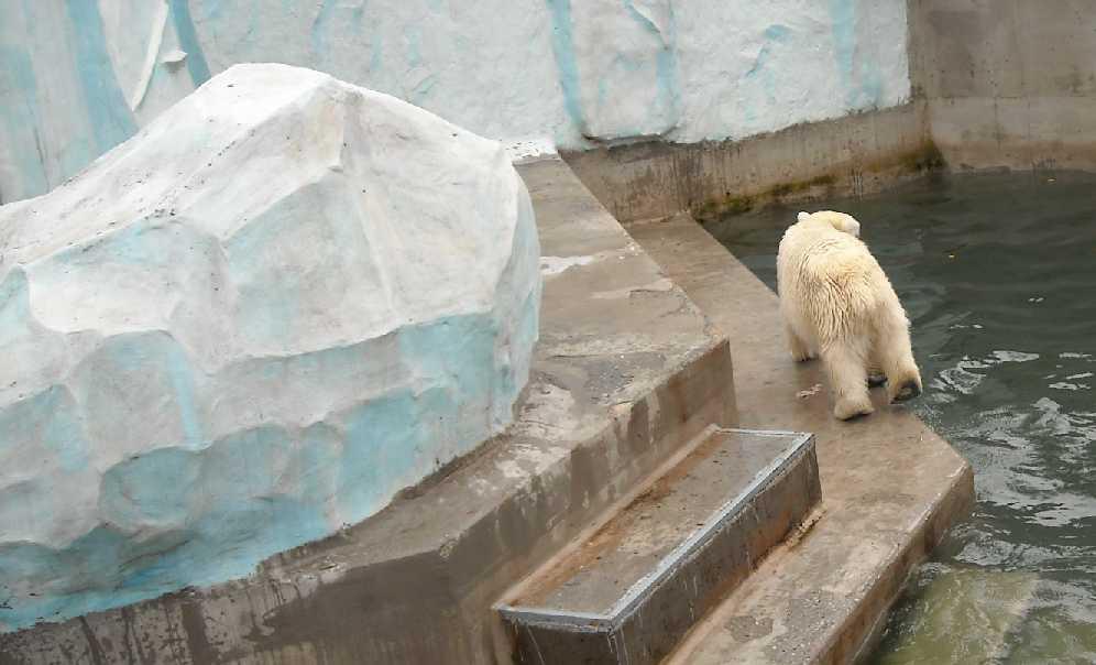 Белый медведь - Ursus maritimus  (фото 1960)