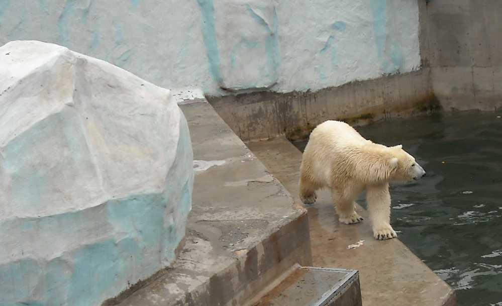 Белый медведь - Ursus maritimus  (фото 1961)