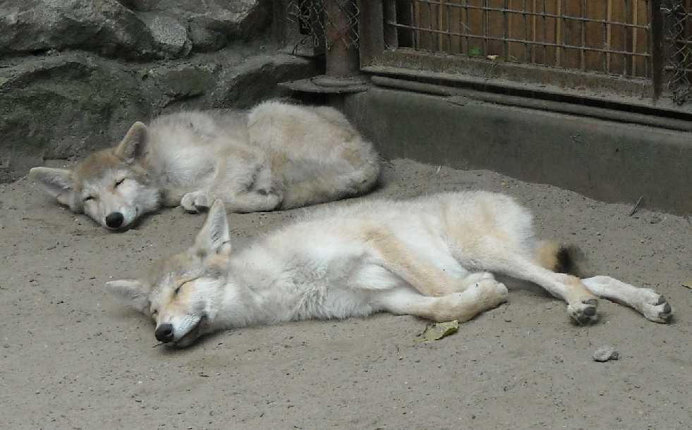 Полярный волк - Canis lupus occidentalis  (фото 1964)