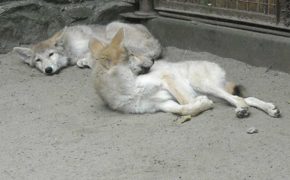 Полярный волк - Canis lupus occidentalis  (фото 1965)