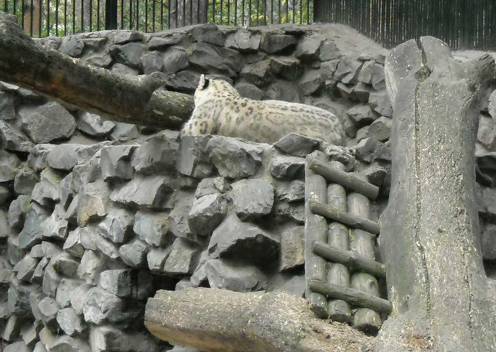 Снежный барс - Panthera uncia  (фото 1996)