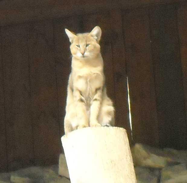 Камышовый кот - Felis chaus  (фото 2032)