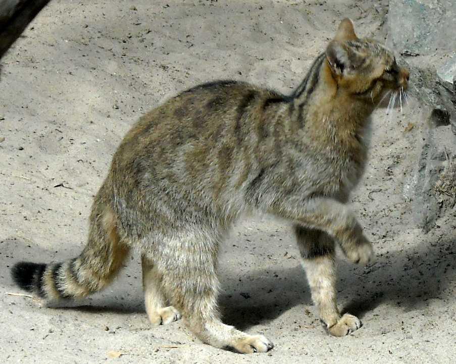 Дальневосточный лесной кот - Felis euptilura  (фото 2034)
