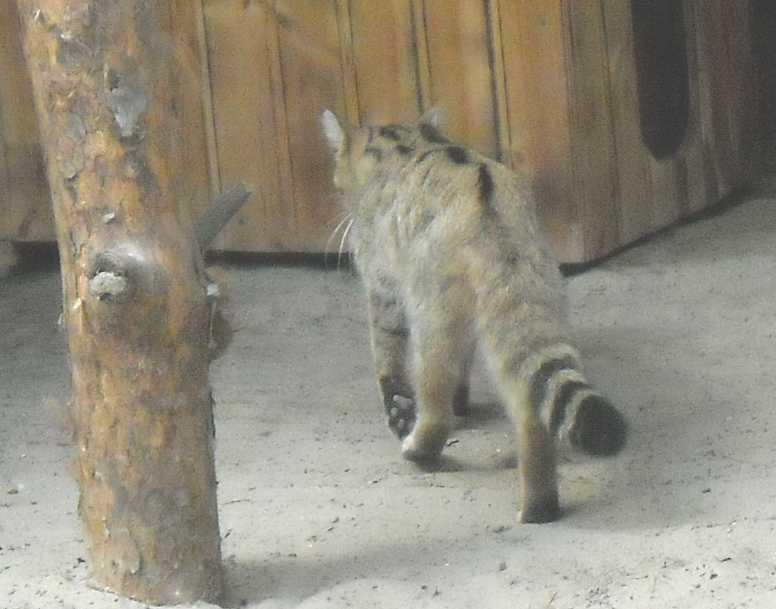 Дальневосточный лесной кот - Felis euptilura  (фото 2036)