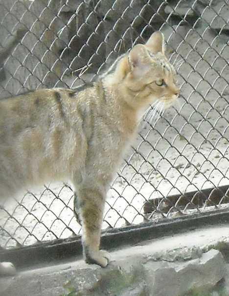 Дальневосточный лесной кот - Felis euptilura  (фото 2038)