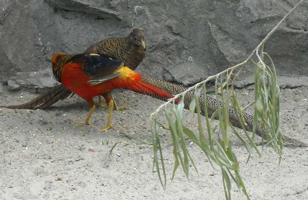 Золотой фазан - Chrysolophus pictus  (фото 2049)